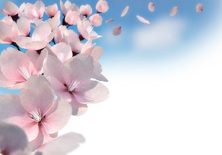 fleur de cerisier: Rendu 3D de fleurs de cerisier roses