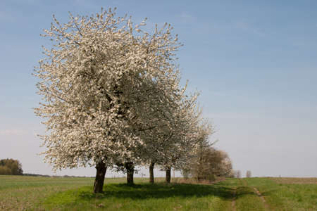 wild cherry trees near by a field way Stock Photo - 17263442