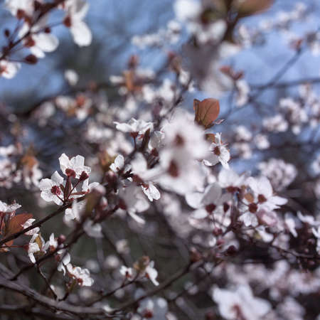 White blossom blooming in the spring sunshine Stock Photo - 2764473