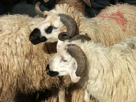close up image of sheep and aries photo