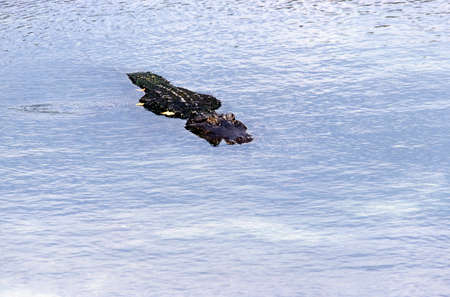 insidious: A single alligator approaching over the water Stock Photo