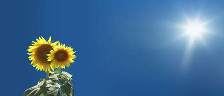 close up shot of sunflowers over clear sky Stock Photo - 3809503