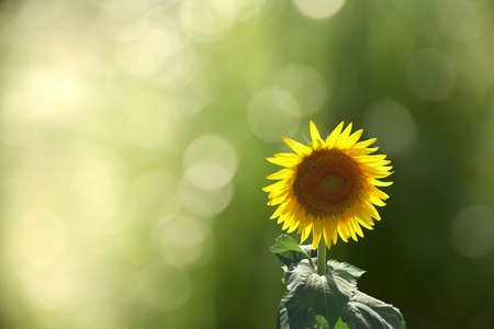 close up shot of sunflower over green background Stock Photo - 3809509