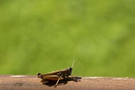 solter�a: Close up disparo de un saltamontes �nica en la naturaleza