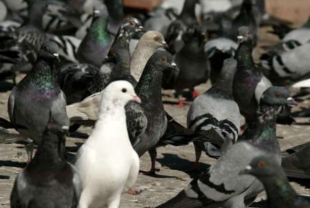 dissimilarity: an image of white dove in a group of pigeon