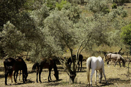 An image of several horses among olive trees photo