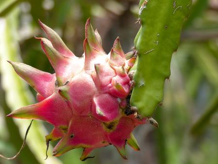 arboles frutales: árboles frutales dragón