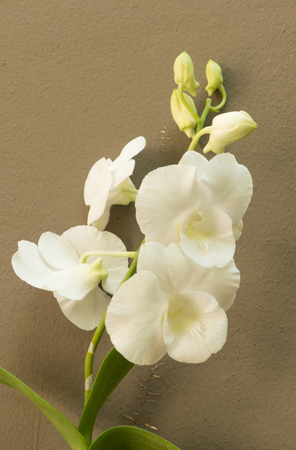 orchid house: white  orchid on the brown walls in house