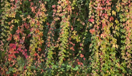 View of an ivy plant in the beginning of the autumn