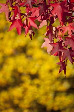 Autumn. Red leaves on yellow background