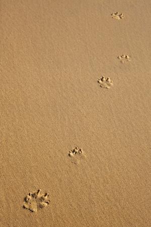 Five dog prints on smooth sand Standard-Bild