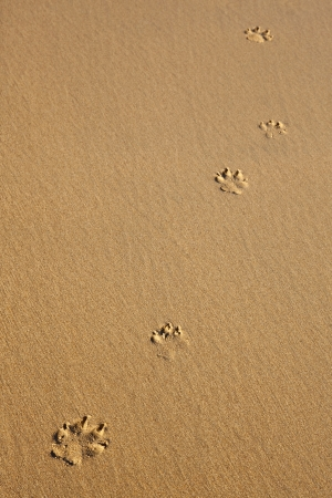 Five dog prints on smooth sand photo