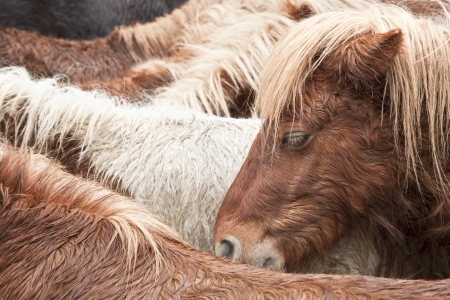 Brown wild pony portrait having a rest with his brothers