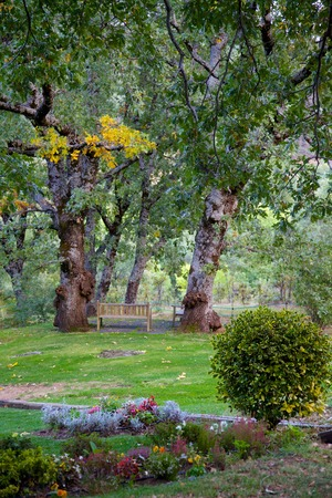 quercus robur: A light-brown color wooden bench in the middle of two old and large English oaks on a beautiful garden.