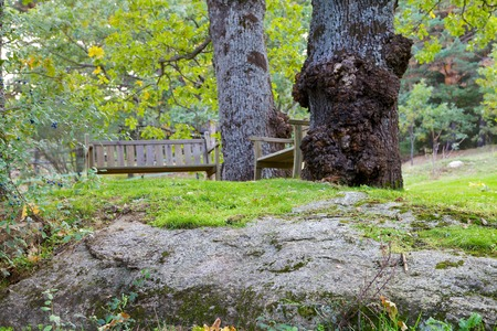 Two wooden benches next to two large English oaks on top of a rock. photo