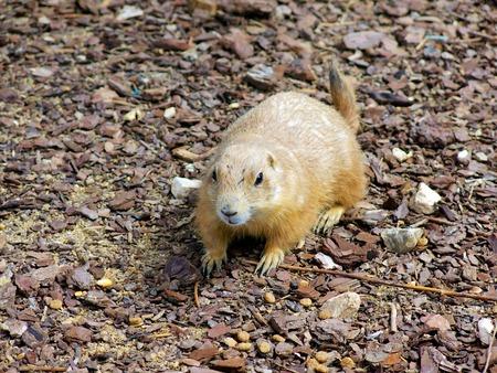 prairie dog: Prairie Dog standing over small groups of rocks.