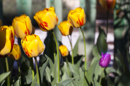 exceptional: Several Burning Heart tulips planted in the backyard.  Burning Heart Tulips are an exceptional type with creamy yellow blooms streaked with bold red.  Blur green background and a fence.