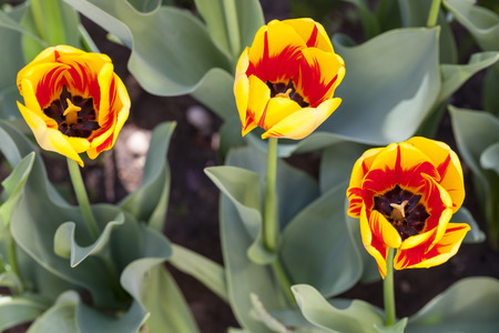 exceptional: Three Burning Heart tulips which are an exceptional type with creamy yellow blooms streaked with bold red.  Blur green background.