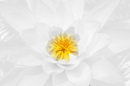 Beautiful white lotus Focus in the middle of the picture