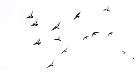 isolate Doves are flying in the sky.on white background Stock Photo