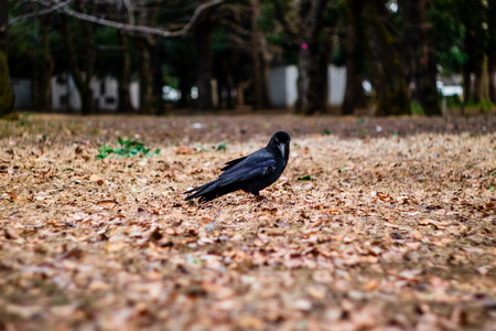 A crow looking at you.