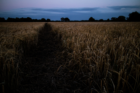 A wheat field in the Lincolnshire countryside at dusk.