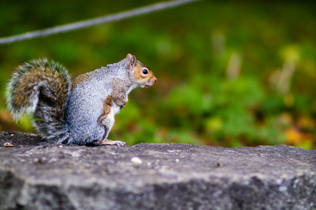 A cross grey aand red squirrel doing squirrel things.