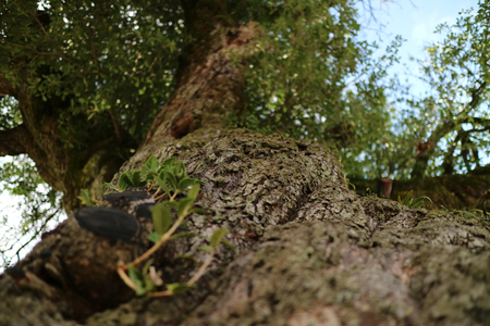 Looking up the trunk of a gnarly tree.