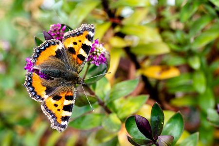 A Small Tortoiseshell, a Eurasian Butterfly belonging to the Nymphalidae family. Stock Photo