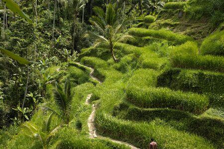 The beautiful Tegalallang rice terraces near Ubud in Bali Archivio Fotografico - 132183595