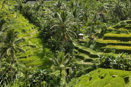 The beautiful Tegalallang rice terraces near Ubud in Bali Archivio Fotografico - 132183705