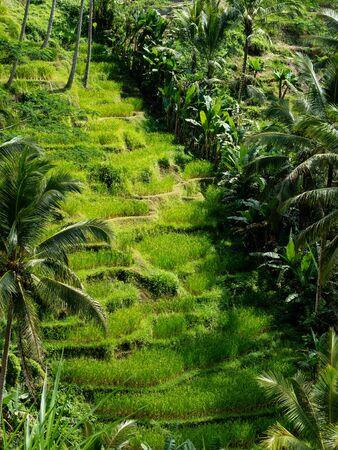 The beautiful Tegalallang rice terraces near Ubud in Bali Archivio Fotografico - 132183999