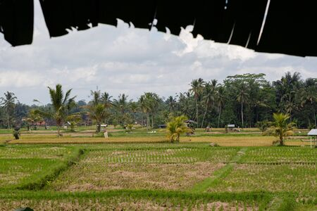 beautiful Rice fields in Bali Indonesia surrounded by palm tress Archivio Fotografico - 133451826