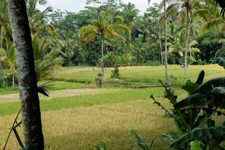 beautiful Rice fields in Bali Indonesia surrounded by palm tress Archivio Fotografico - 133451827