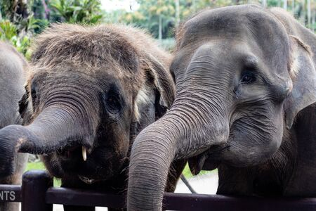 Elephants being fed and looked at in a zoo or tourist attraction Archivio Fotografico - 133451877