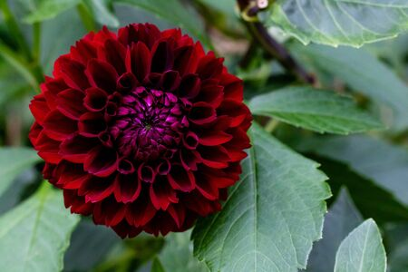 A red dahlia with copy space on the right Archivio Fotografico - 134651233