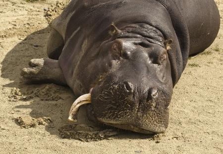 tusks: Hippo sleeping in dublin zoo