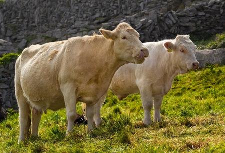 Two cream colored cows in a field on the stone wall background photo