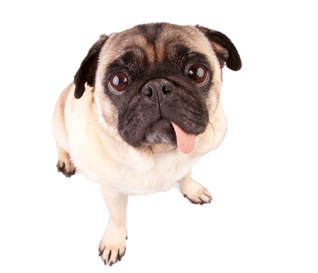 Hungry pug dog isolated on white background photo