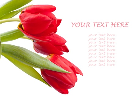 Bouquet of red spring tulips isolated on  white background. Copy space on right