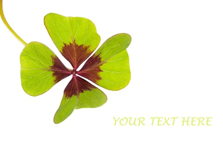 in bocca al lupo: Four Leaf Clover. Simbolo di buona fortuna. Oxalis deppei isolato su bianco. Copia spazio