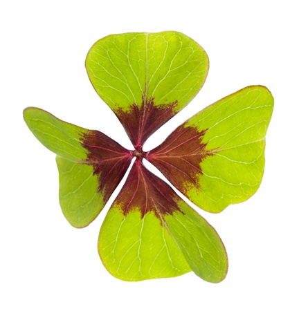lucky clover: Four leaf clover  symbol of good luck  Stock Photo