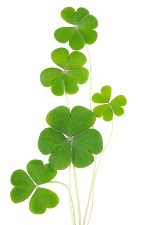 three leafed: Shamrocks, three leafed clovers isolated on white