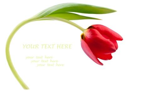 Eine rote Tulpe isoliert auf weiß. Kopieren Sie Platz für Ihren Text