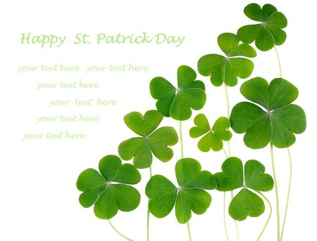 Shamrocks, three leafed clovers isolated on white. Copy space for your text photo