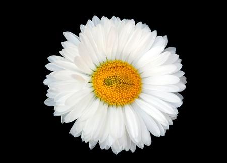 white daisy: Beautiful white daisy isolated on black background