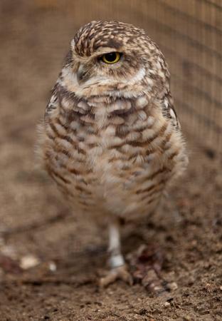 burrowing: Burrowing owl standing on one leg