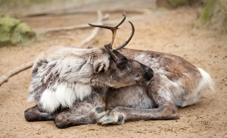 Reindeer resting on the ground photo