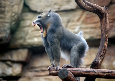Angry mandrill standing on a  bough  Stock Photo