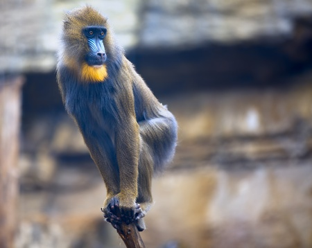 Young mandrill standing on a  bough Stock Photo - 13120995